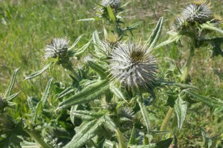 Even thistles can be very beautiful